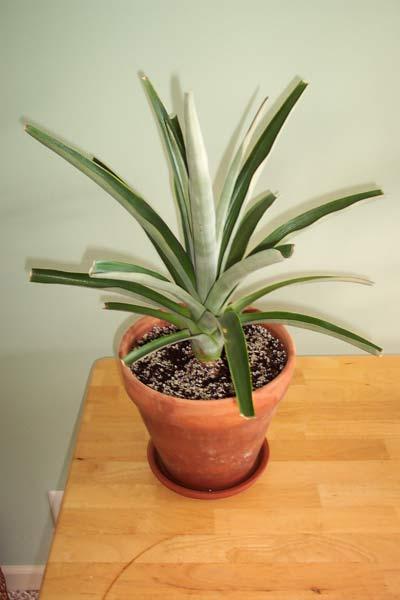Pineapple_1_1_Year.jpg