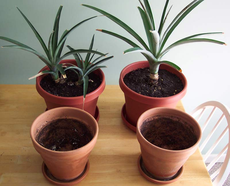 How to grow a pineapple top indoors for Plant pineapple top