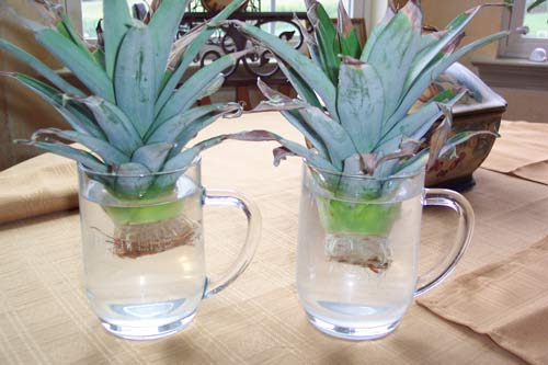 http://www.rickswoodshopcreations.com/images/Pineapple/Pineapple_Tops_In_Water.jpg